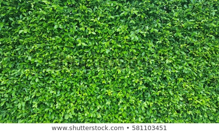 Green leaves wall Stock photo © grafvision