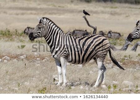 アフリカ シマウマ 立って 誇りに思う クローズアップ 草地 ストックフォト © albertdw