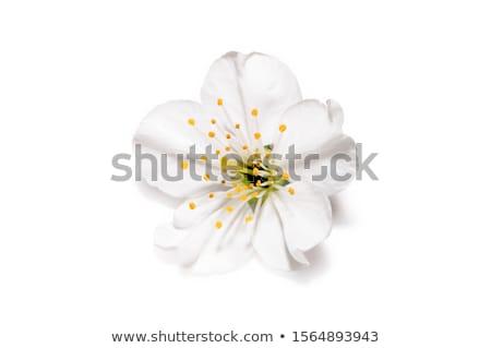 spring blossom flower stock photo © jordanrusev