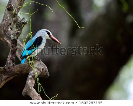 Woodland kingfisher on a branch in the Kruger National Park Stock photo © simoneeman