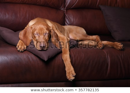Сток-фото: Dog In Classic Leather Sofa