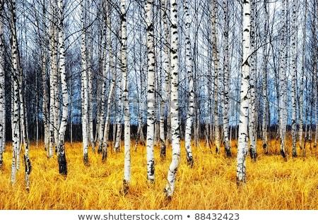 Renkli sonbahar orman huş ağacı dağ ahşap Stok fotoğraf © mady70
