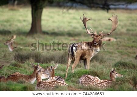 鹿 · カラフル · 秋 · 森林 · 農村 · 道路 - ストックフォト © taviphoto