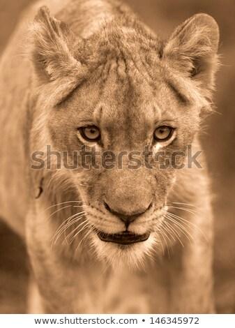 Oldal profil fiatal férfi oroszlán feketefehér Stock fotó © simoneeman