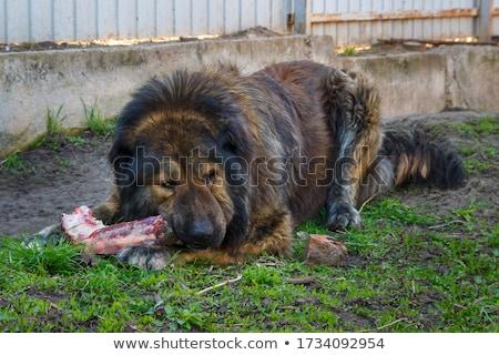 caucasiano · pastor · cão · neve · inverno · cabeça - foto stock © mikko