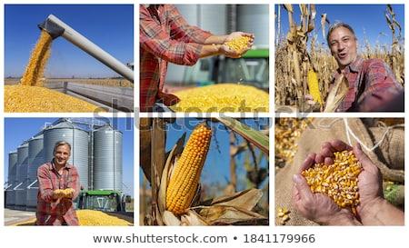 Kukurydza rolnictwa Fotografia kolaż kopia przestrzeń dziedzinie Zdjęcia stock © stevanovicigor