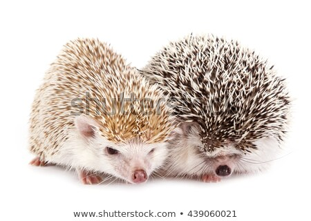 hedgehogs couple Stock photo © adrenalina