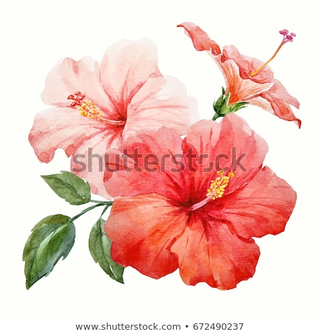 red hibiscus flower watercolor tropical leaves isolated stock photo © mamziolzi