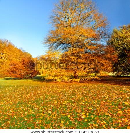 береза · лес · Солнечный · осень · утра · пейзаж - Сток-фото © kotenko