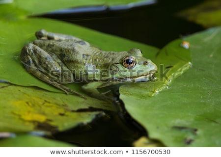 съедобный лягушка пруд Франкфурт Германия лет Сток-фото © dirkr