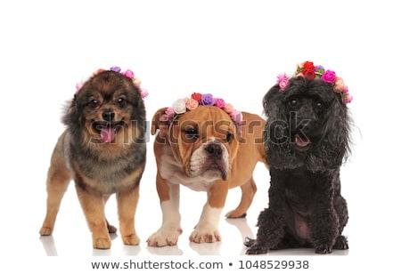 Adorable noir caniche fleurs couronne Photo stock © feedough