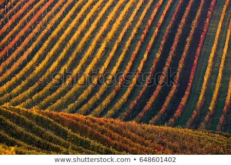 Rows of vineyard in autumn stock photo © stefanoventuri