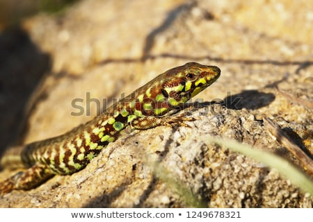 rare Milos wall lizard Stock photo © taviphoto