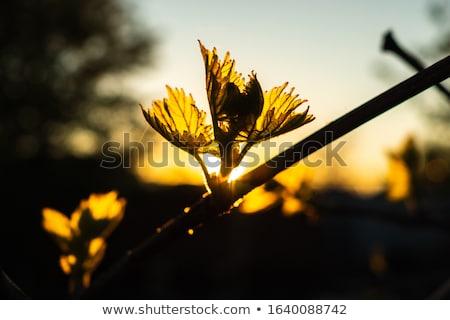 Stock fotó: Fiatal · ág · Bordeau · égbolt · naplemente · mező