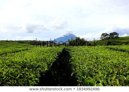 yeşil · çay · alanları · yeni · bahar · Fuji · Dağı - stok fotoğraf © craig