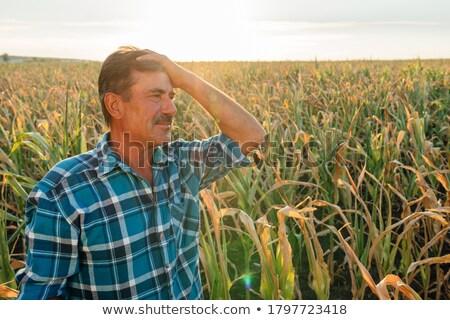 Corn after harvest, farmer inspecting crop Stock photo © simazoran