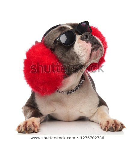 adorable american bully wearing fluffy red earmuffs lying Stock photo © feedough