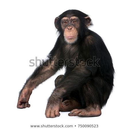 şempanze iki oturma ağaç ahşap mutlu Stok fotoğraf © colematt
