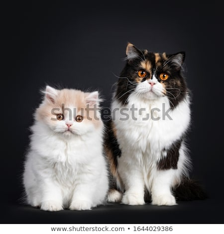 Young adult tortie British Longhair cat on black background Stock photo © CatchyImages