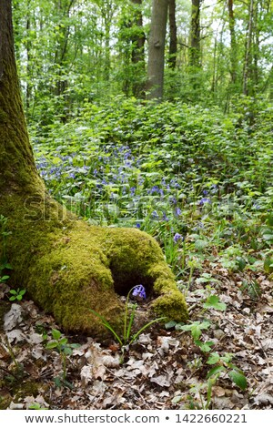 Bluebell grows at the foot of a mossy tree trunk Stock photo © sarahdoow