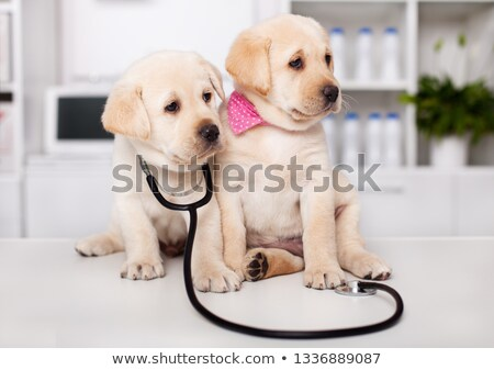 Two cute labrador puppy dogs sit on examination table at the vet Stock photo © ilona75