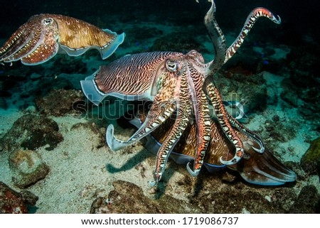 Cuttlefish Stock photo © derocz
