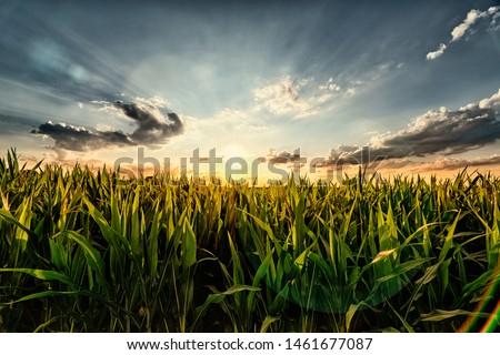 Cornfield  Stock photo © ondrej83