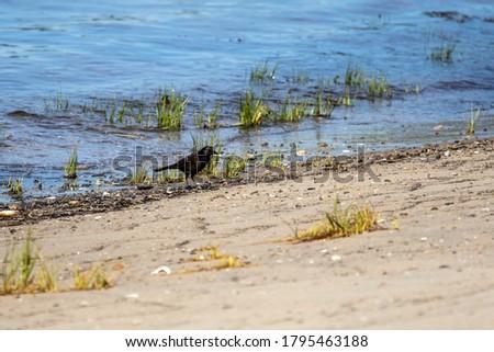 Common Grackle on Marsh Grass Stock photo © rhamm