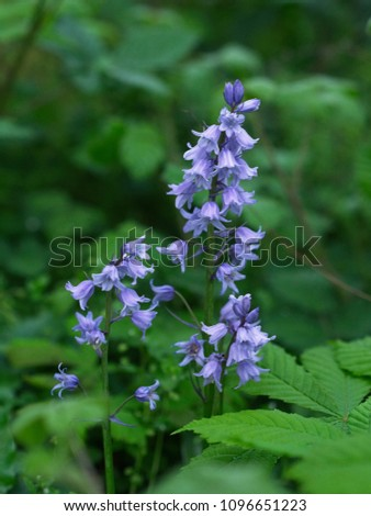 Blue Spanish bluebell Hyacinthoides hispanica flowers in the field Stock photo © dmitry_rukhlenko