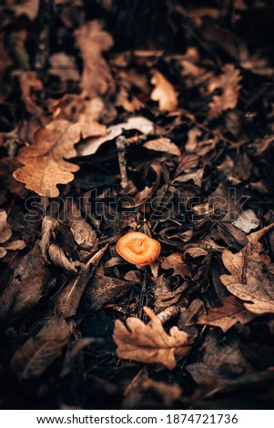growing chanterelle with wood leaf Stock photo © romvo