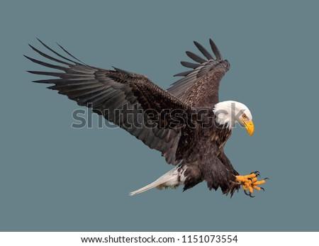 Bald Eagle Stock photo © phakimata