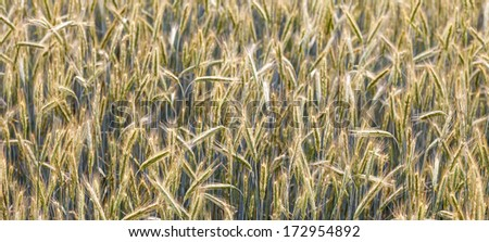 corn field with spica and structured spear Stock photo © meinzahn