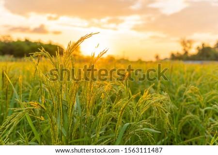 rice field stock photo © koufax73