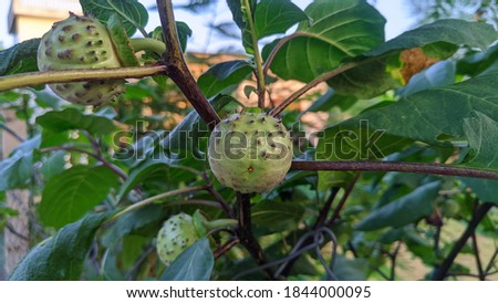 Medicinal Datura fruit Stock photo © bdspn