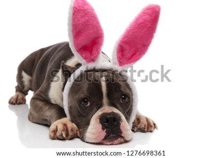 adorable american bully wearing rabbit ears headband lying  Stock photo © feedough