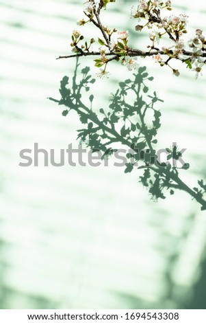 Blooming branch and shadow through blinds Stock photo © furmanphoto