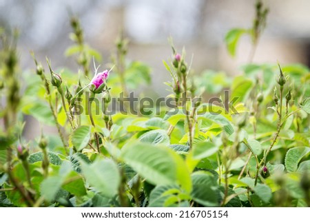 Güller plato görüntü gül Umman yol Stok fotoğraf © w20er