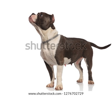 cute american bully wearing chain looks to side while standing Stock photo © feedough