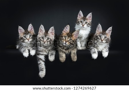 Stock photo: Perfect row of five gorgeous Maine Coon cat kittens