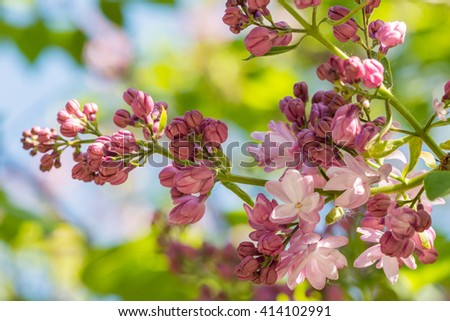 branches of blooming lilacs stock photo © kotenko