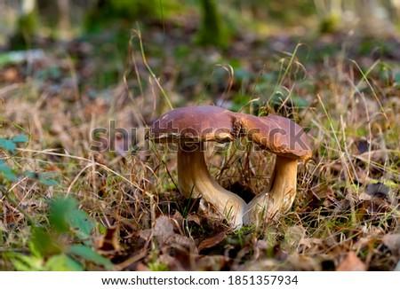 porcini mushrooms pair in wood Stock photo © romvo