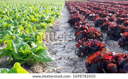 линия · зеленый · овощей · фермы · области · лист - Сток-фото © lunamarina