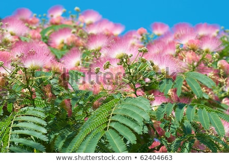 Flowers of acacia (Albizzia julibrissin) Stock photo © vapi