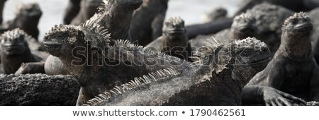 Galapagos funny animals - Marine Iguana with lava lizard on its head in the sun on Fernandina Island Stock photo © Maridav