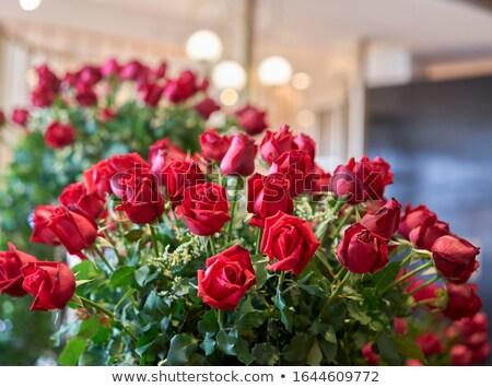 Red roses rozwój ogród biały ilustracja tle Zdjęcia stock © bluering