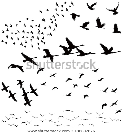 silhouettes of group of flying swans stock photo © mayboro