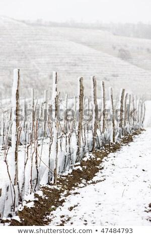 Сток-фото: Winter Vineyards Eko Hnizdo Czech Republic
