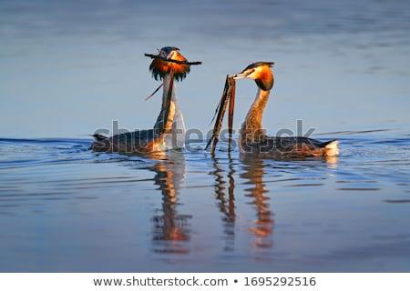 natação · lago · água · natureza · pássaro - foto stock © suerob
