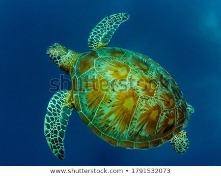 Kaplumbağa yüzme güzel yüzey su görmek Stok fotoğraf © Carpeira10