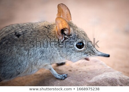 ratón · marrón · suave · luz · pelo - foto stock © gorgev